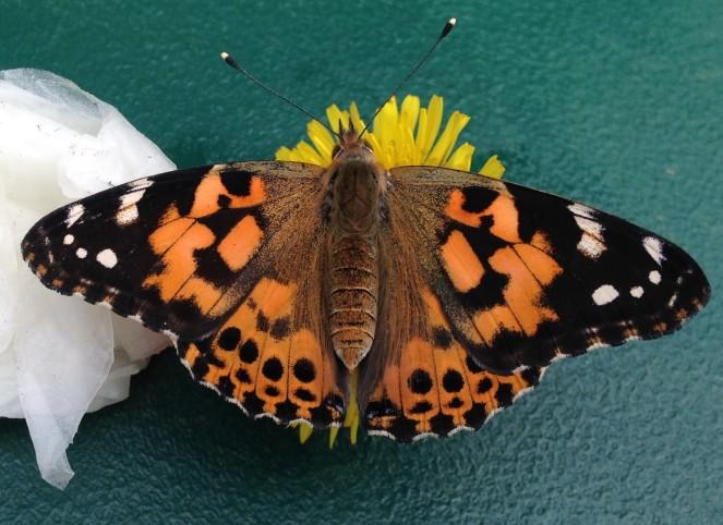 plbutterfly
